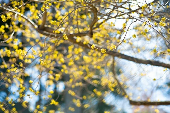 Tree branches with small yellow buds